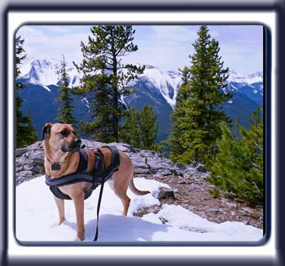 Ebbey the search dog standing on a mountain trail.  A reddish tan muscular black muzzled Rhodesian ridgeback with dark ears and a dark tipped tail.