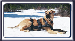 Ebbey the Search Dog, a reddish tan muscular black muzzled Rhodesian ridgeback with dark ears and a dark tipped tail.