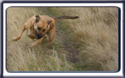 Ebbey the search dog running and playing in a grassy field.  A reddish tan muscular black muzzled Rhodesian ridgeback with dark ears and a dark tipped tail.