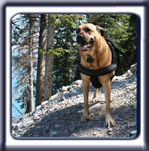 Ebbey the search dog stands on a mountain trail in the summer.  A reddish tan muscular black muzzled Rhodesian ridgeback with dark ears and a dark tipped tail.