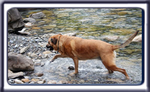 Ebbey the search dog wades into a mountain stream.  A reddish tan muscular black muzzled Rhodesian ridgeback with dark ears and a dark tipped tail.