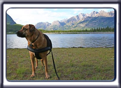 Ebbey the search dog stands by a mountain lake.  A reddish tan muscular black muzzled Rhodesian ridgeback with dark ears and a dark tipped tail.