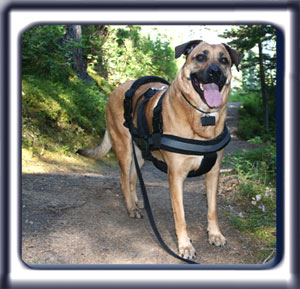 Ebbey the search dog poses for the camera on a mountain trail.  A reddish tan muscular black muzzled Rhodesian ridgeback with dark ears and a dark tipped tail.