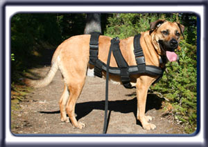 Standing on a mountain trail, Ebbey the search dog after a long search.  A reddish tan muscular black muzzled Rhodesian ridgeback with dark ears and a dark tipped tail.
