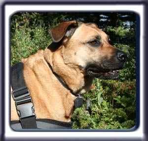 Ebbey the search dog.  A reddish tan muscular black muzzled Rhodesian ridgeback with dark ears and a dark tipped tail.