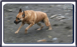 Ebbey the search dog playfully runs along a mountain stream.  A reddish tan muscular black muzzled Rhodesian ridgeback with dark ears and a dark tipped tail.