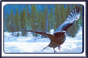 A raven flies upwards in the snowy forested mountains.