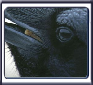 A raven face close up