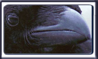 Close up shot of a raven face.